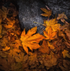 _MG_8271 fall leaves of yosemite by christian del rosario