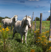 White Horses in Quebec by Christian Del Rosario