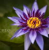 Lotus' Full Bloom by Christian Del Rosario