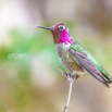 Hummingbird by Christian Del Rosario
